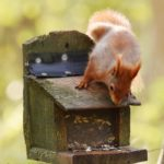 Citizen science project to help save our red squirrels